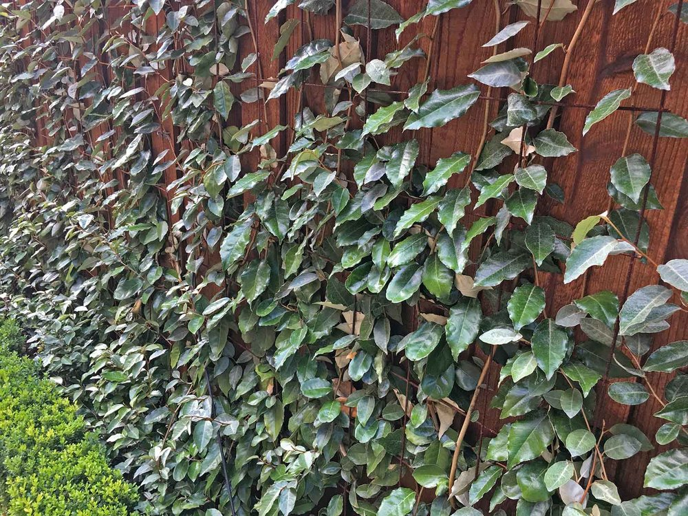 best-vines-for-dallas-espalier-elaeagnus-vine