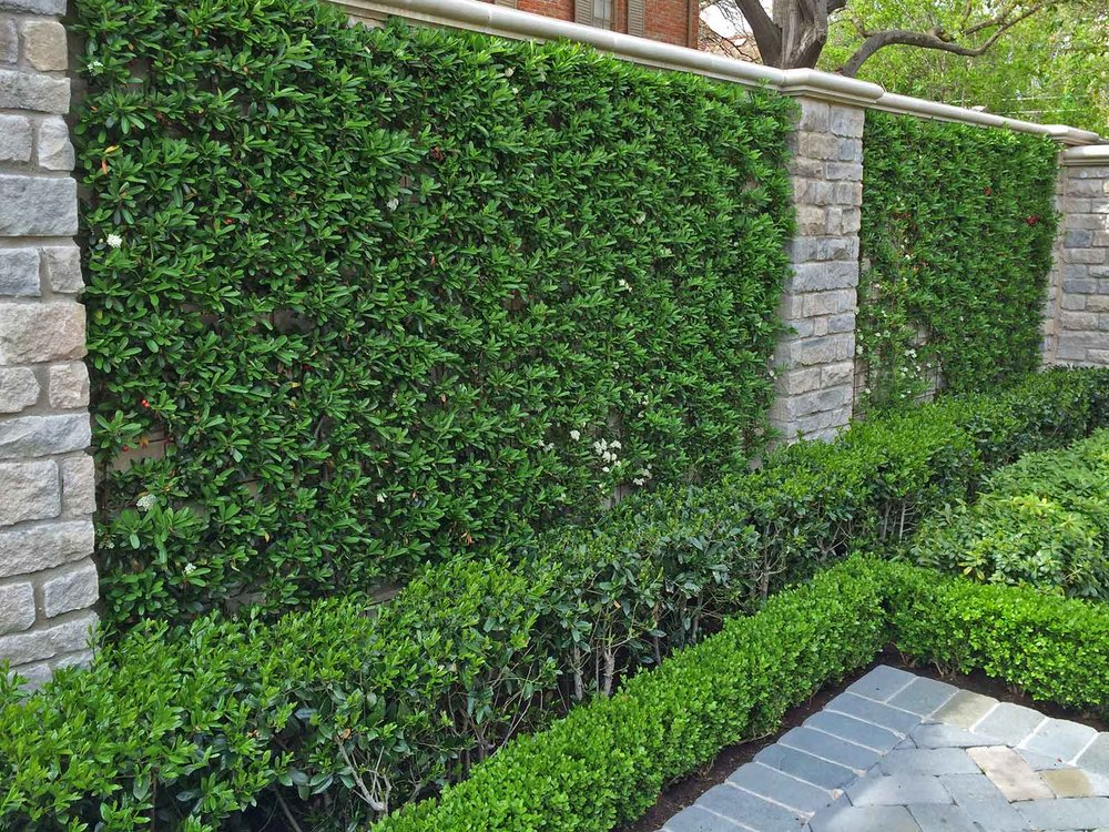 best vines for dallas - pyracantha