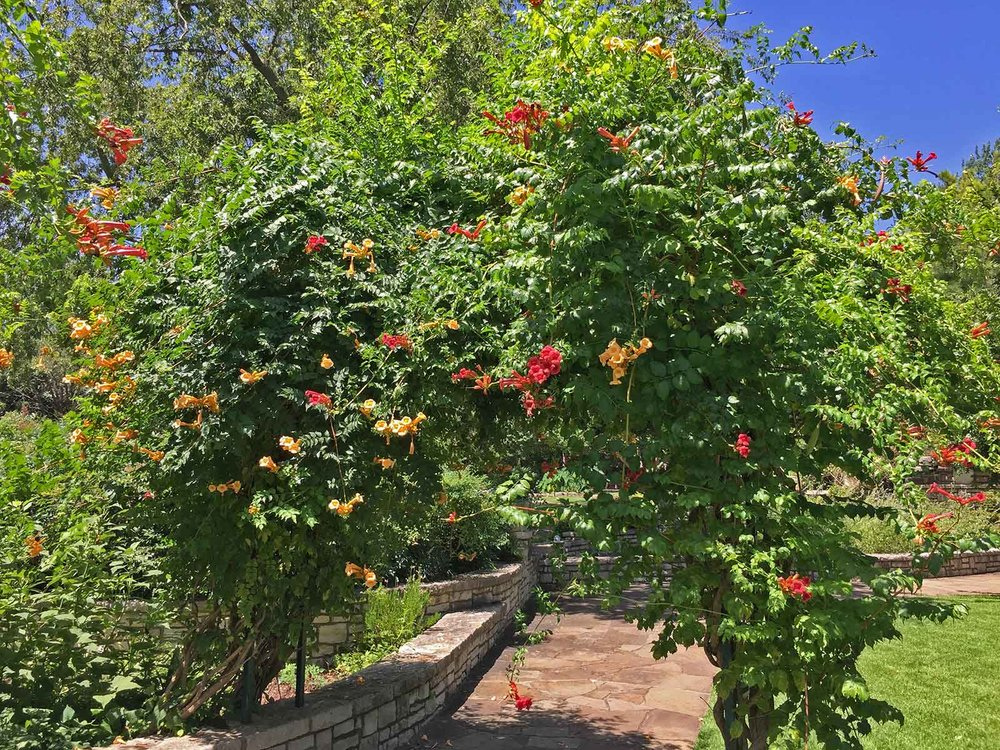best vines for dallas - trumpet vine