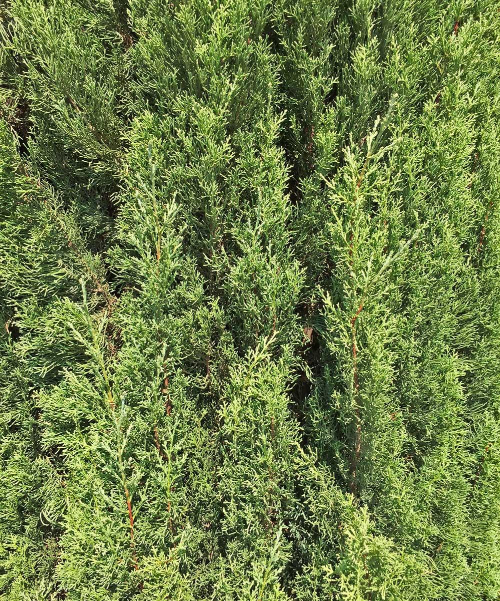 italian cypress trees (cupressus sempervirens)