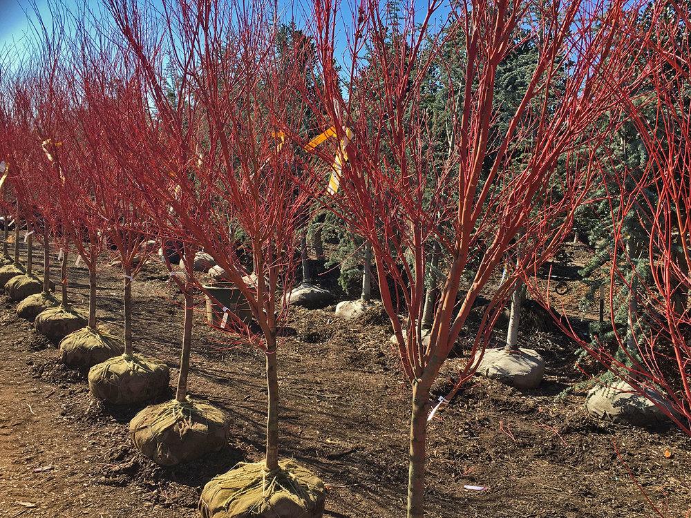 coral bark japanese maple winter