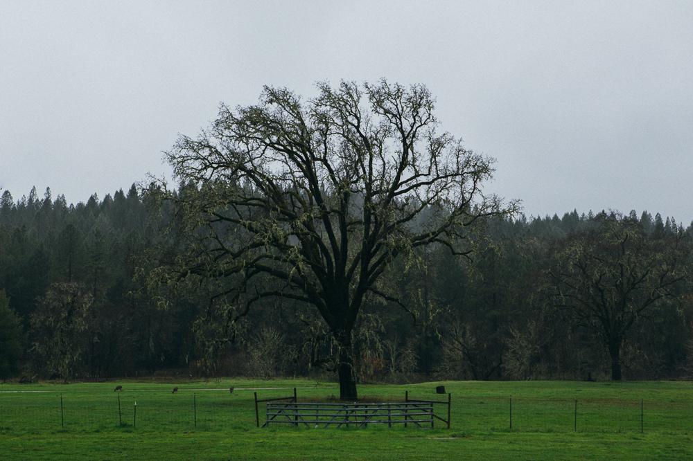 It started raining pretty heavily and made for some great moody photo ops.  This tree had me pulled off the highway, shot from the window.