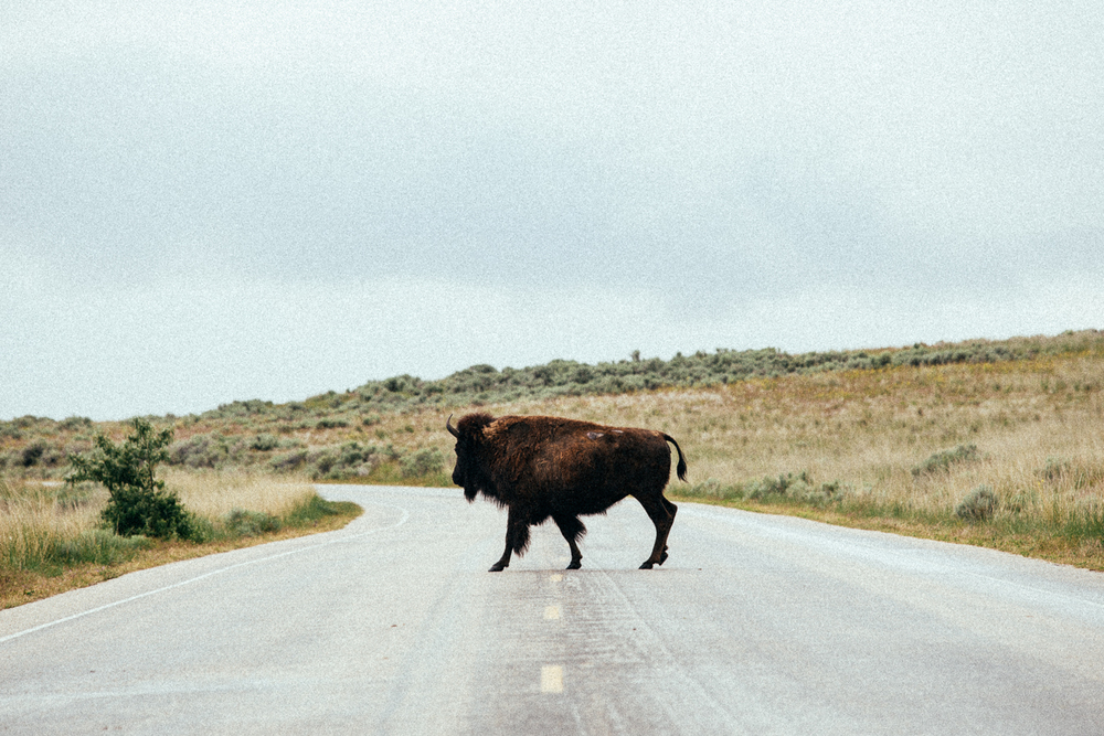 Why did the Bison cross the road??