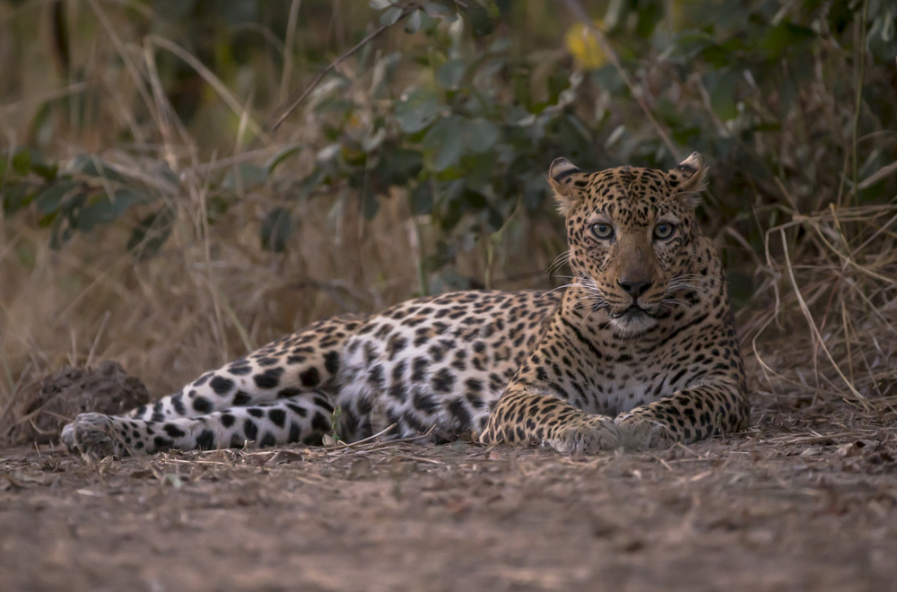 Alice lies in front of the scrub concealing her cub.