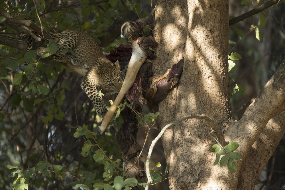 The female cub eats her fill of impala.