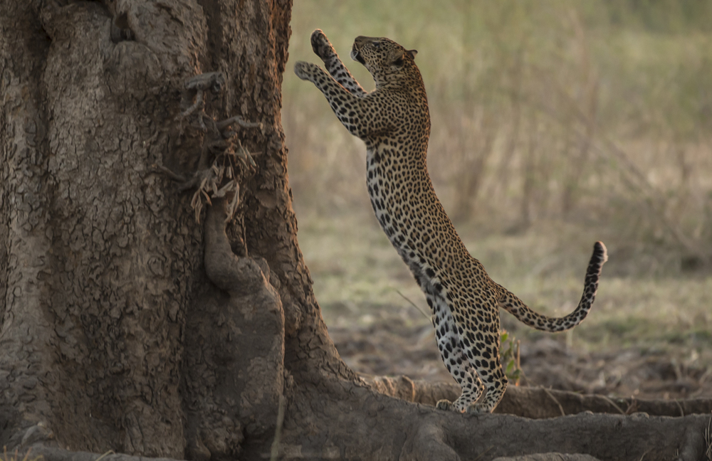 Alice's daughter leaps up the tree in pursuit of baboons.
