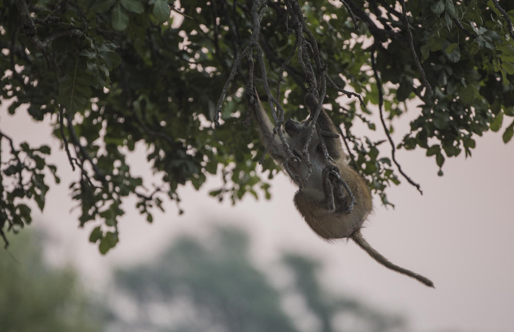 A terrified baboon hangs from the sausage tree as the leopardess leaps about the limbs above.