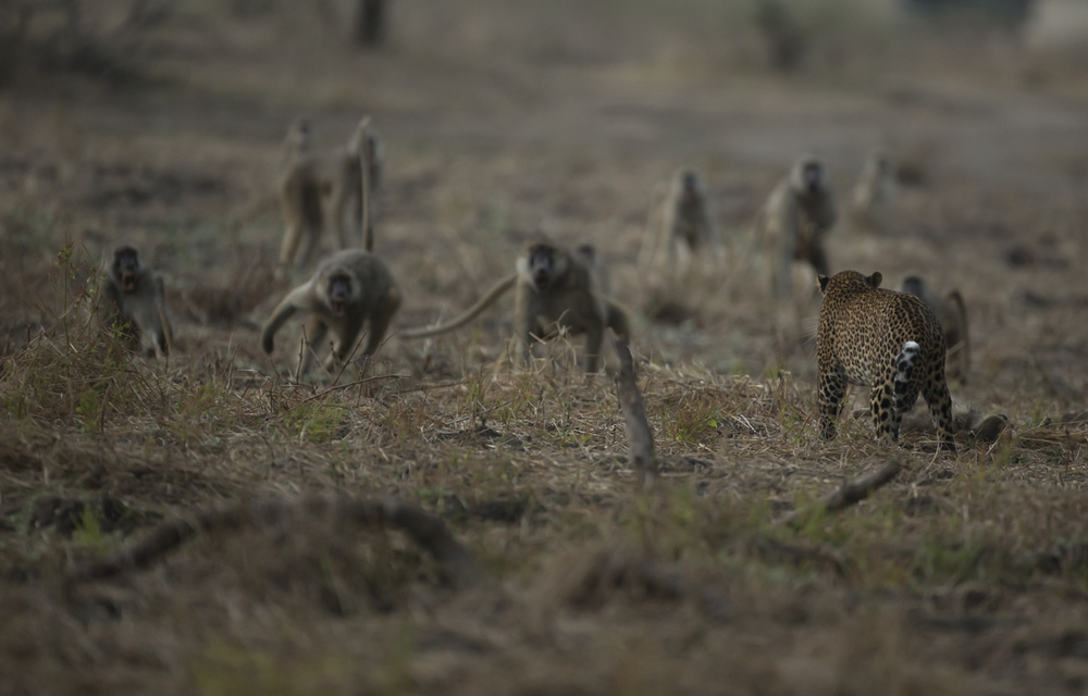 Moments after impact, the baboons scream their disgust at the leopardess.