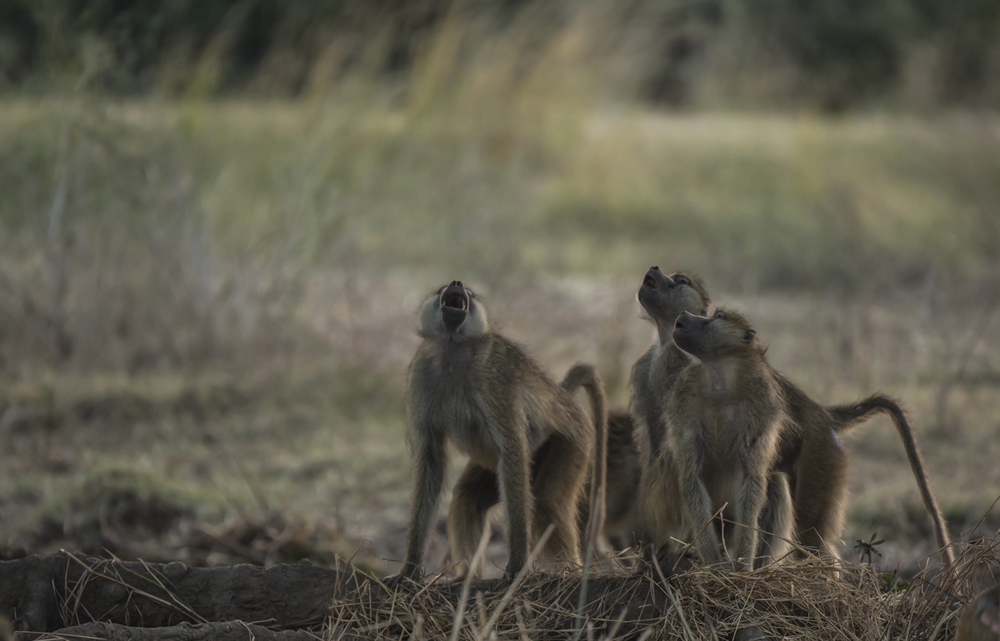 From the relative safety of the ground below the baboons bark away at the leopardess above.