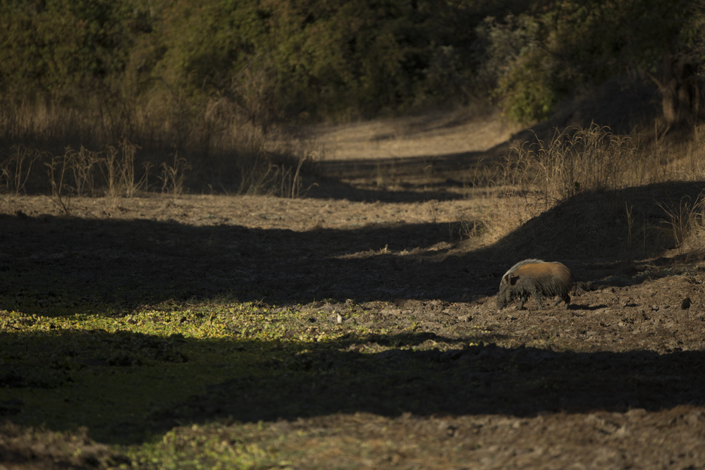My first photographic encounter with bush pigs.