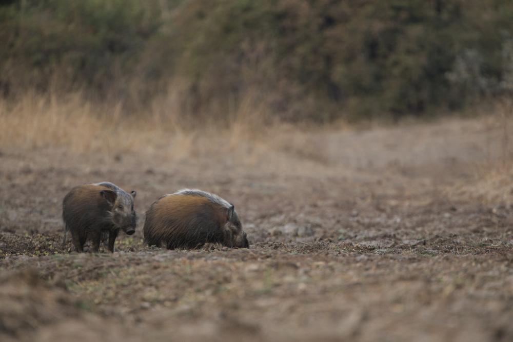 The punks of the swine world.
