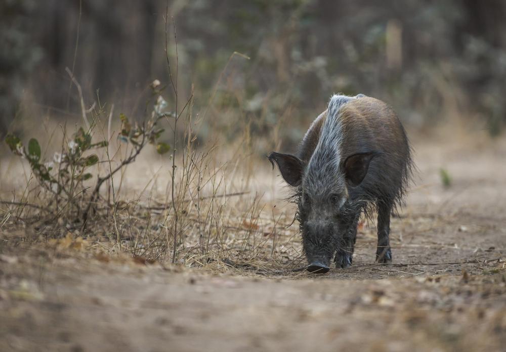 Close encounter of the bush pig kind.