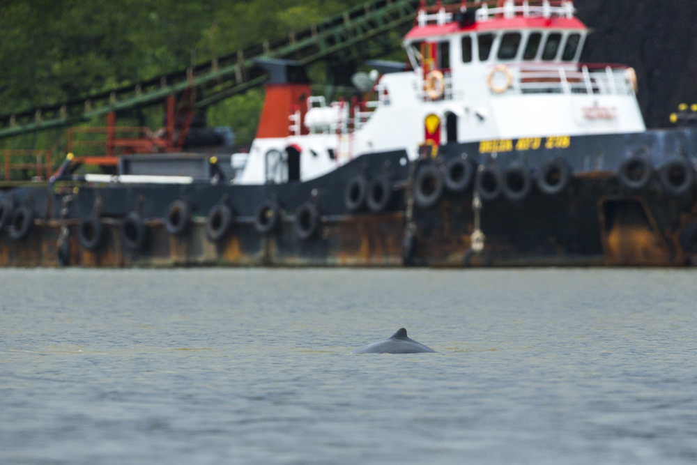 Coal mining pollutes the water ways and increased boat traffic increases the risk of collision with at risk species such as the Irrawaddy dolphin.