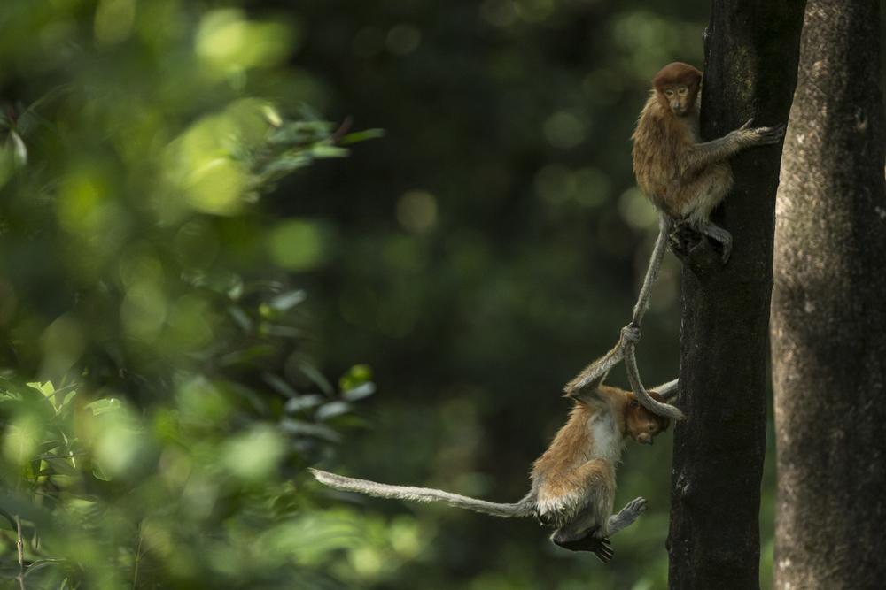 A pair of young Proboscis monkeys play.