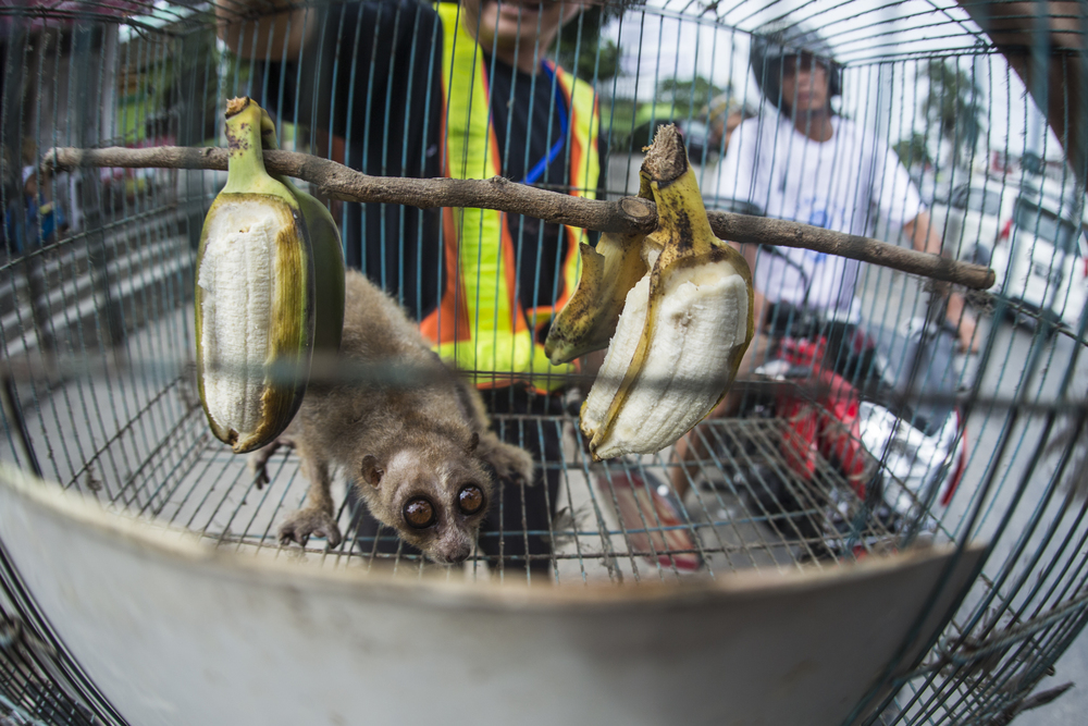 A slow loris, a rare nocturnal creature bought for $5 and shown off in the hot Indonesian sun by it's purchaser, a traffic warden.