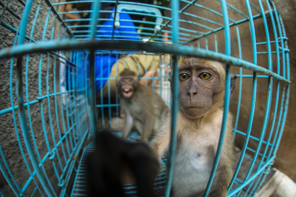 The only way to get a young monkey like this is to kill its mother. Long tailed macaques are sold in almost every animal market.