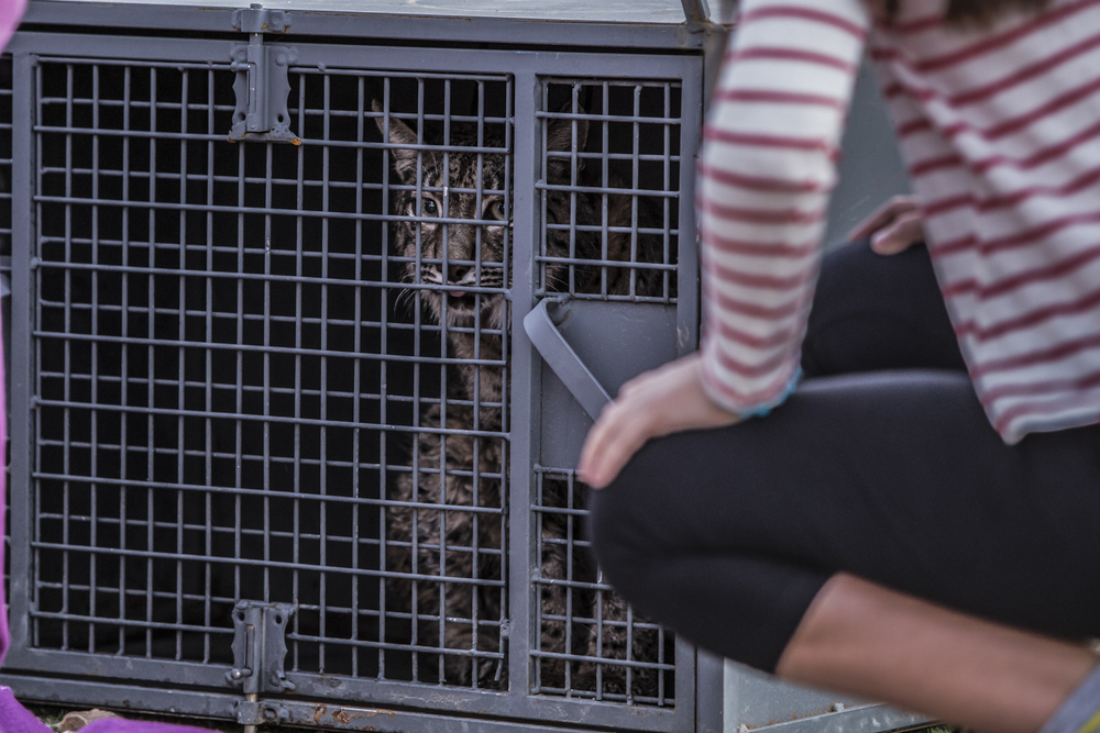A lynx waits in a holding cage prior to release.
