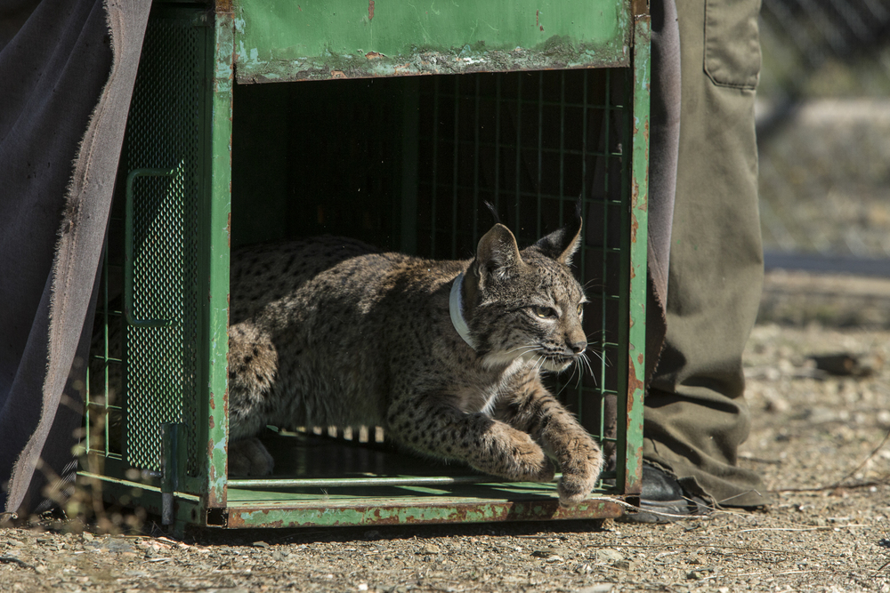 A young cub is released back into its enclosure after a health check and collar fitting.