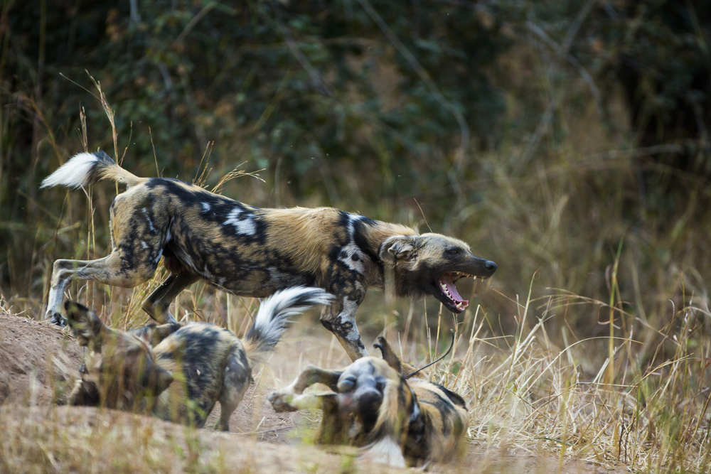 Wild dogs are pack animals, tightly knit, only the alpha male and female breed.