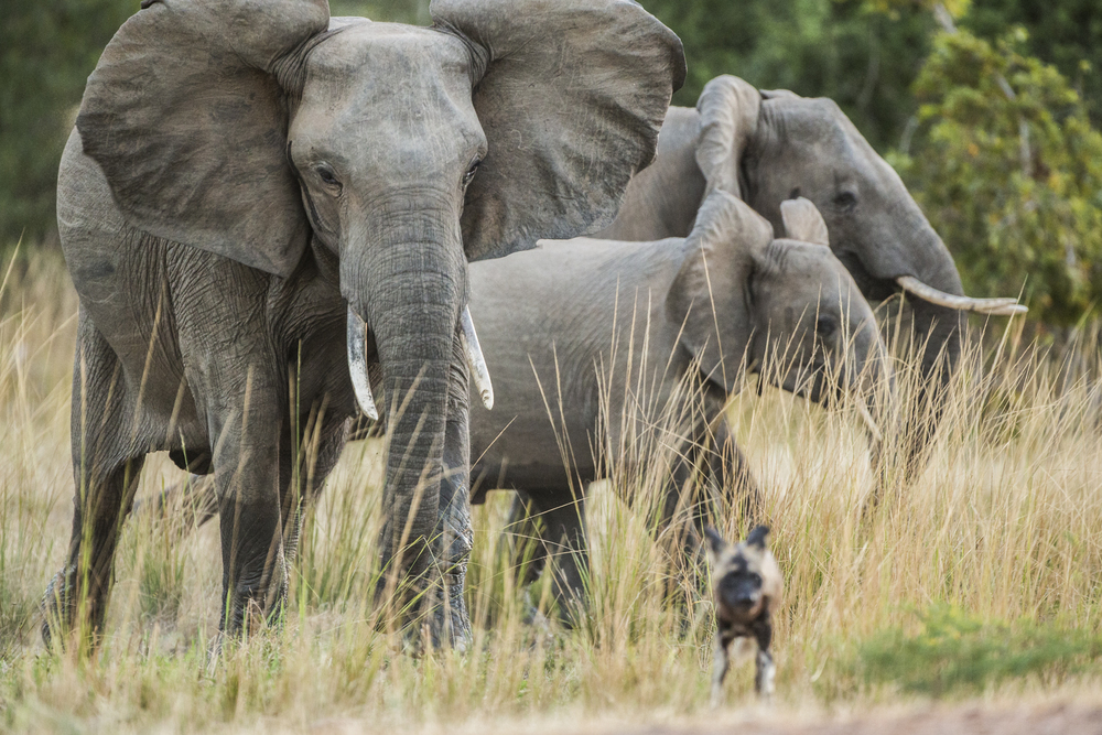A wild dog runs from an elephant it had been teasing.