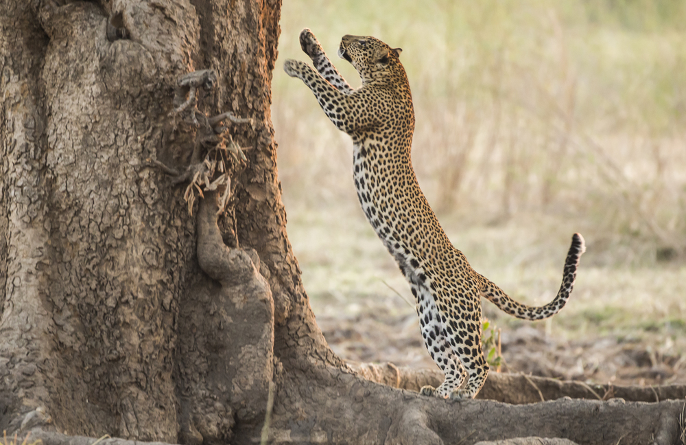 Leopards can hunt on the ground or even up trees in search of primates.