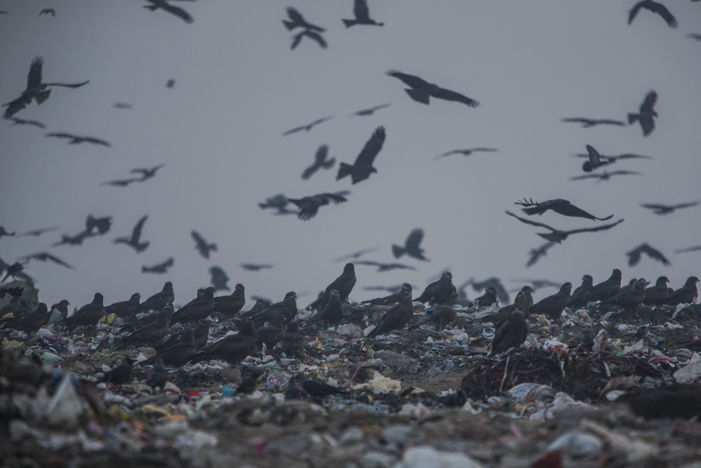 However, many of the kites scavenge from the huge dumps, eating scraps that have little nutritional value.