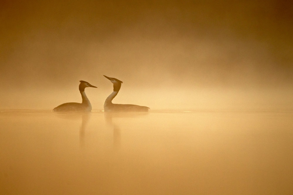 A pair of great crested grebes courting.