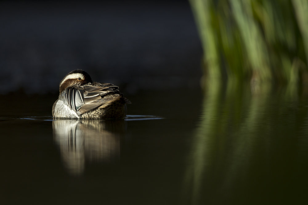 A male garganey rests on a woodland lake.