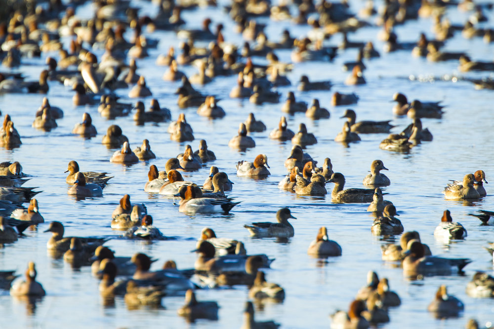 A huge flock of wintering wigeon in Norfolk.
