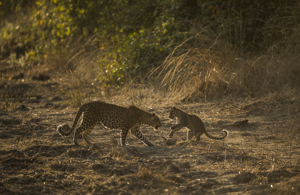 A leopard cub greets its mother after she returns from hunting.