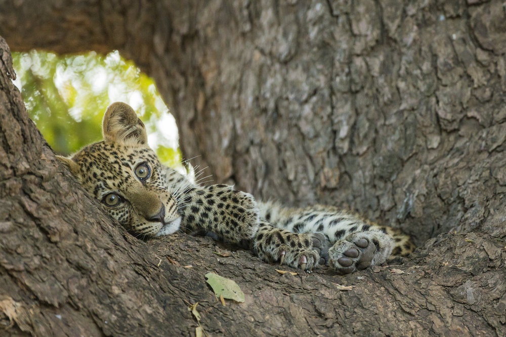 A leopard cub, rests in an ebony tree.