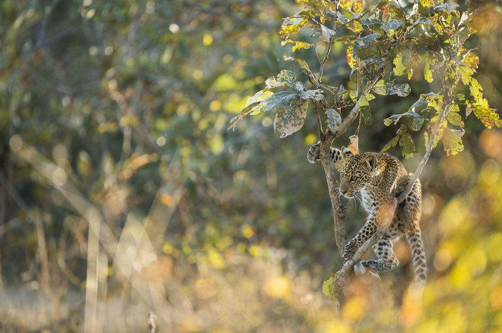A leopard cub plays in a tree.