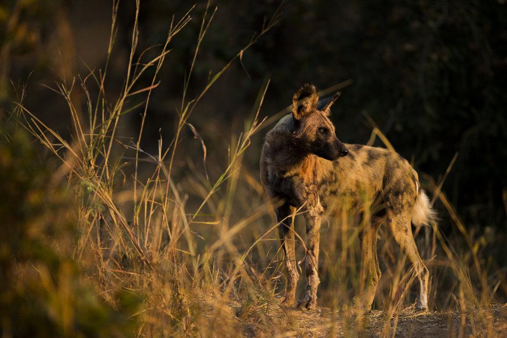 An African wild dog.