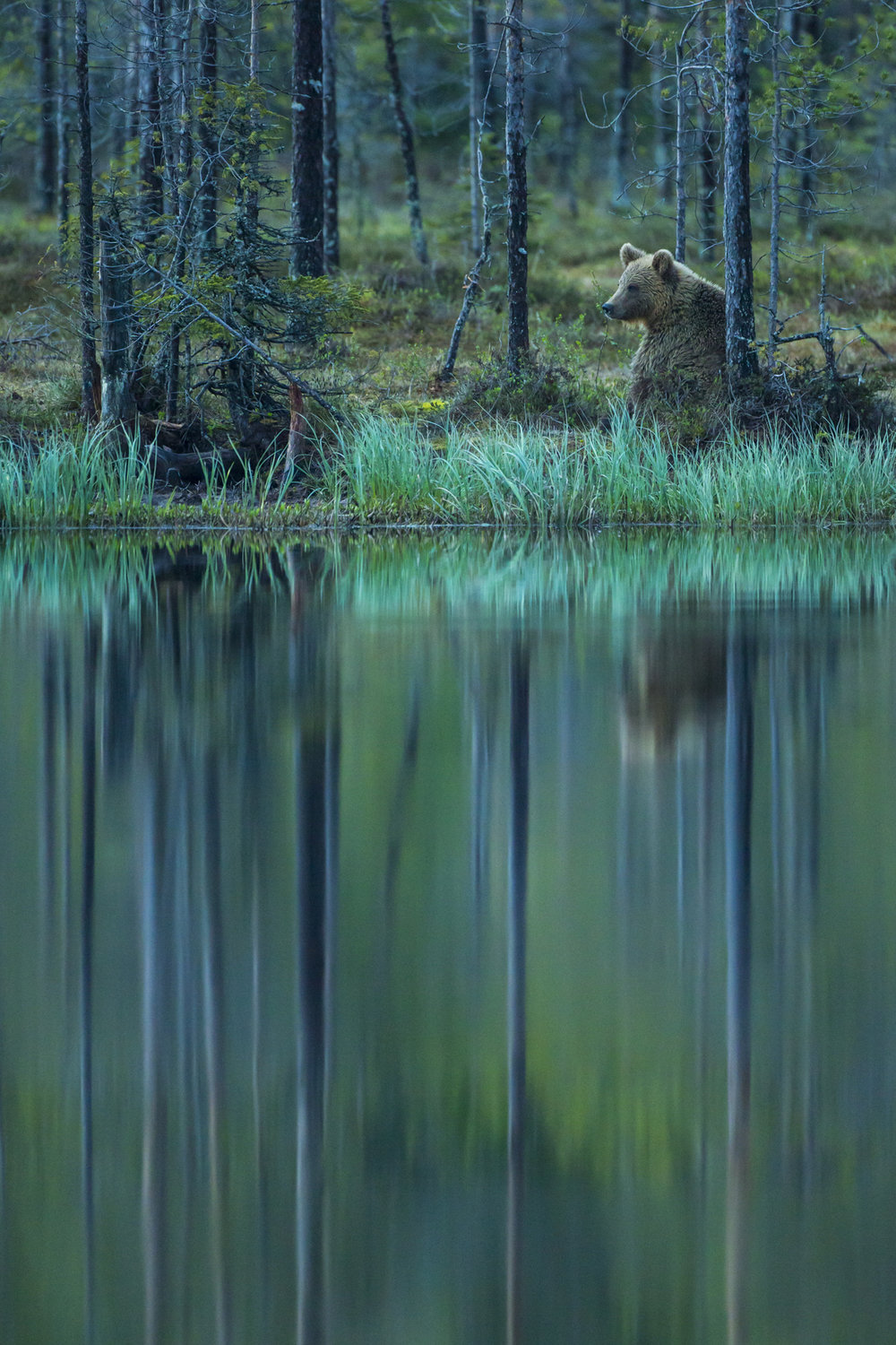 A European brown bear on the edge of a forest pool, Finland.