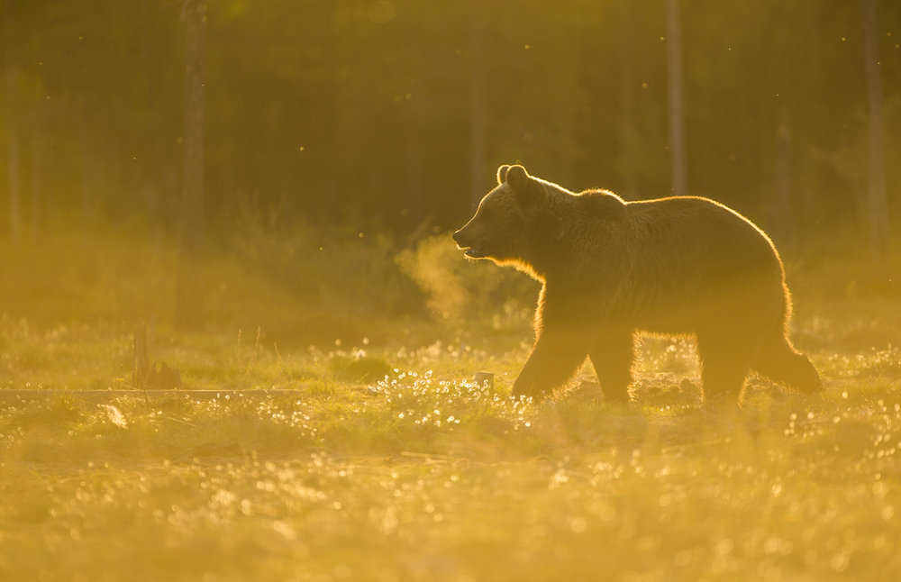 A European brown bear in golden Finnish light.