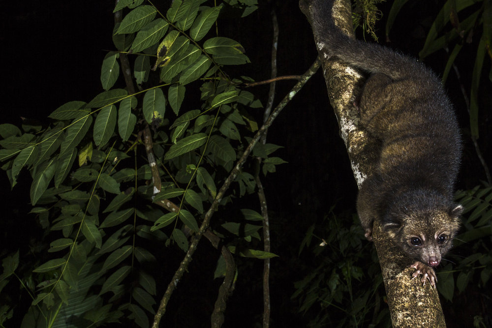 An olinguito descends a tree in Ecuador.