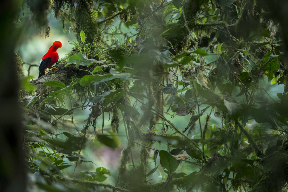 A male Cock-of-the-Rock at a lek in Ecuador.