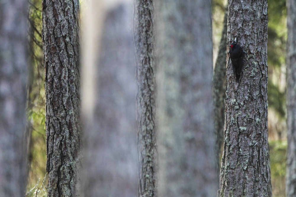 A black woodpecker in a pine forest.