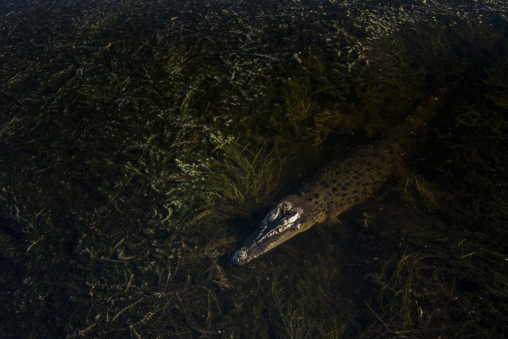 A saltwater crocodile, Kakadu national park, Australia.