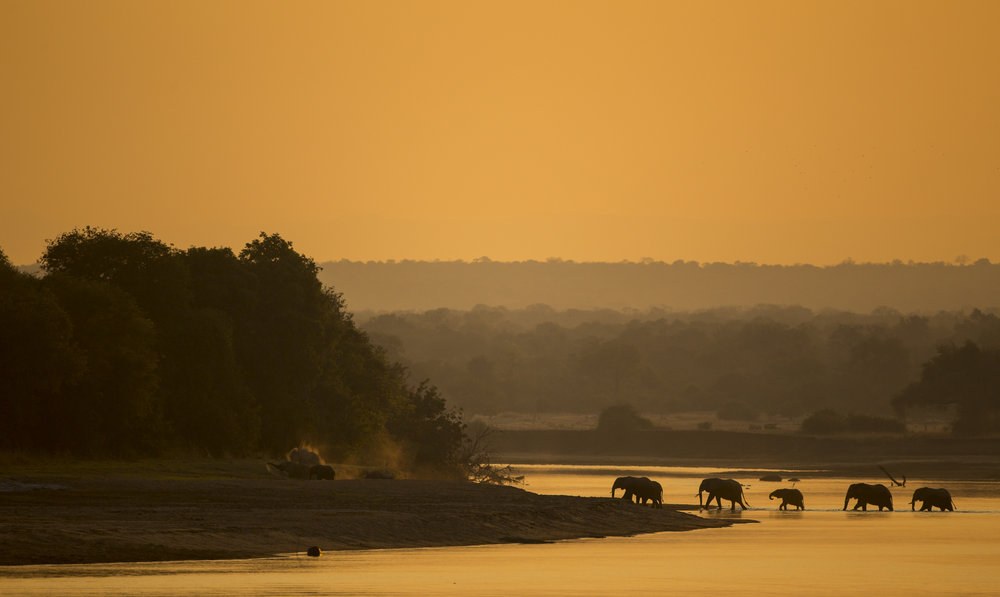 African elephants cross the Luangwa river, Zambia