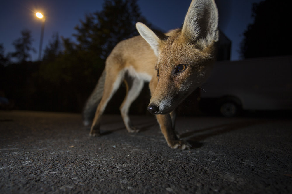 Red foxes now thrive in our cities, living off the waste of human existence.