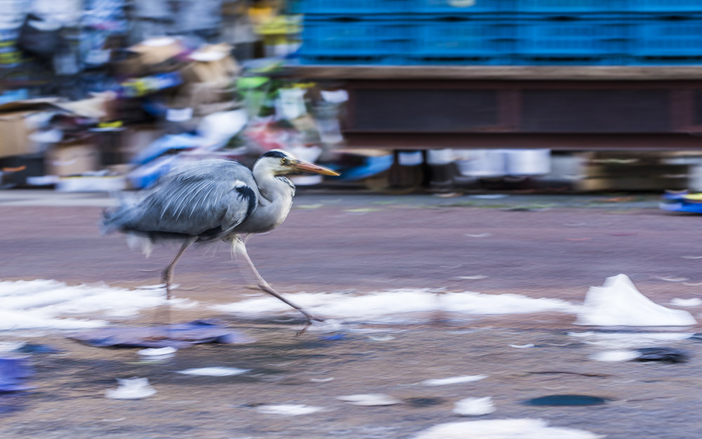 In Amsterdam herons descend on the fish market each evening to make the most of any scraps left behind.