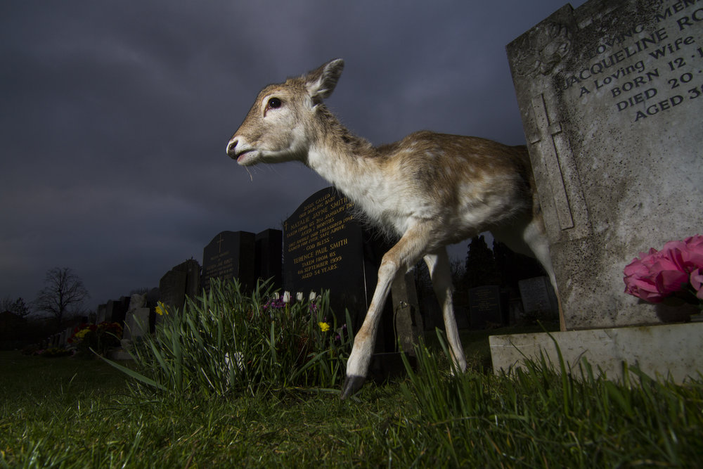 A young fallow deer roams through a graveyard in north London.