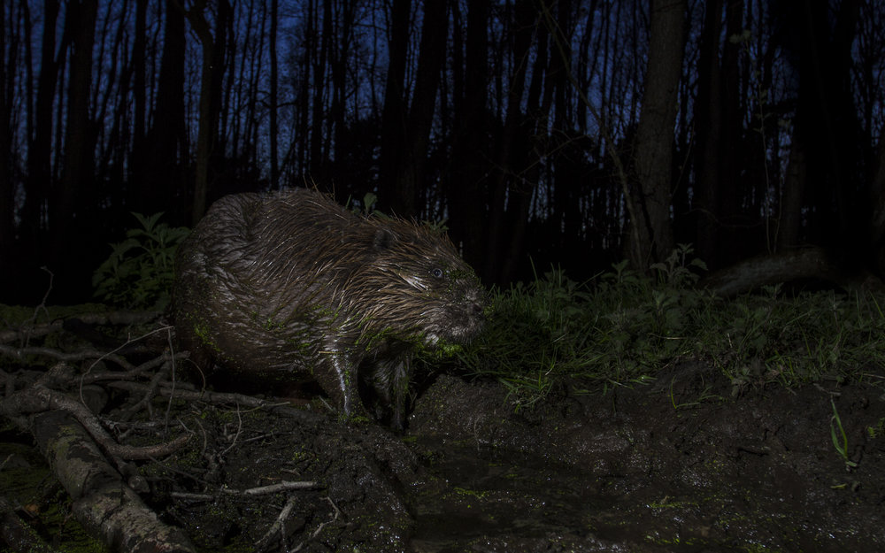 A European beaver heads out for the night. Holland.