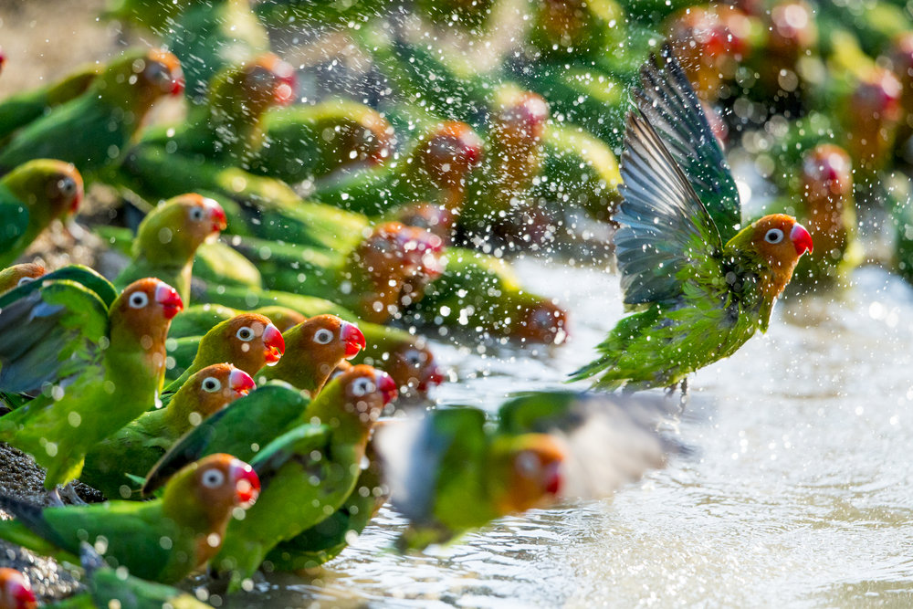 A flock of Lilian's lovebirds, Zambia.