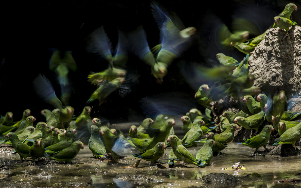 Cobalt winged parakeets at a clay lick in Yasuni NP, Ecuador.