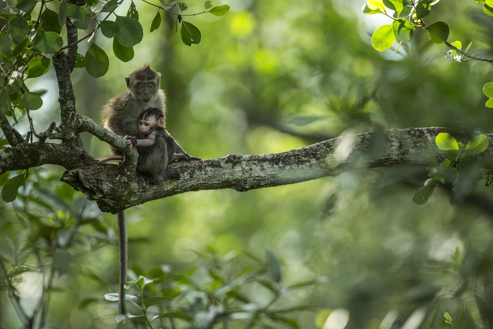 A long tailed macaque and youngster, East kalimantan, Indonesia.