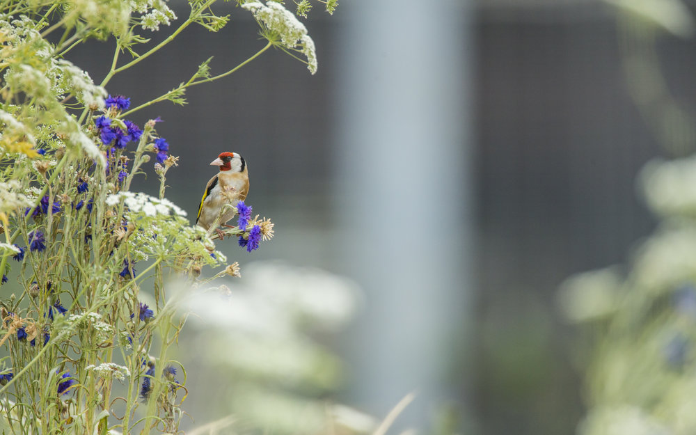 A goldfinch in London's Olympic park.