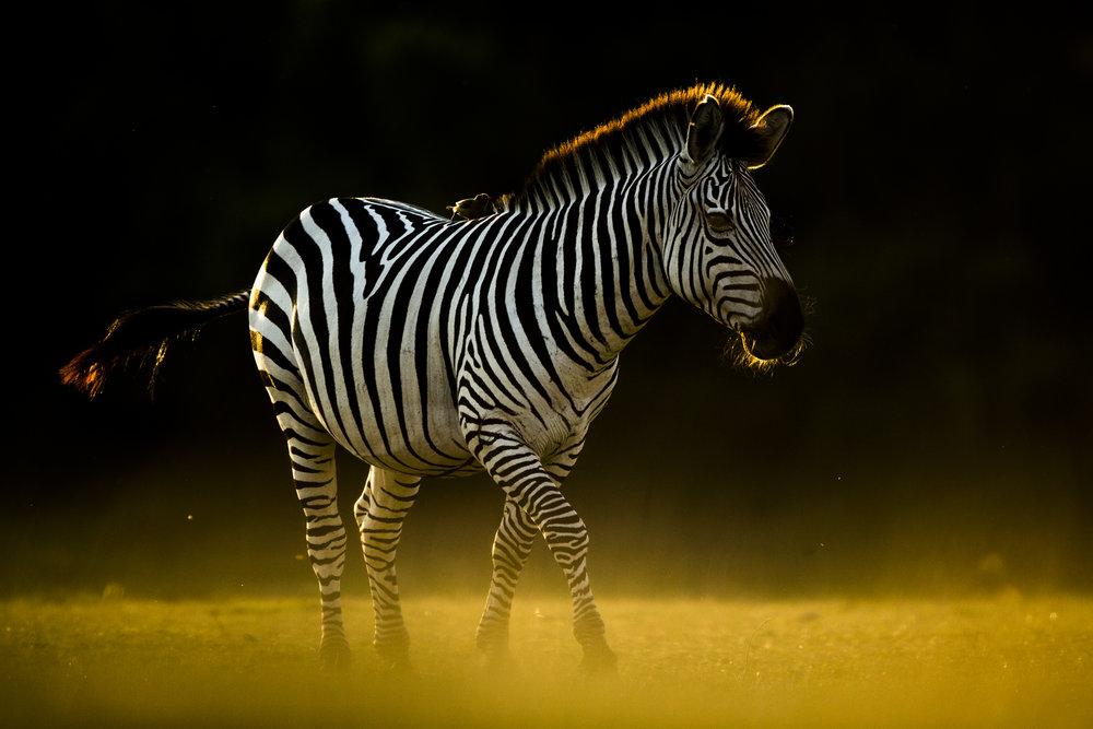 A Crawshay's zebra
