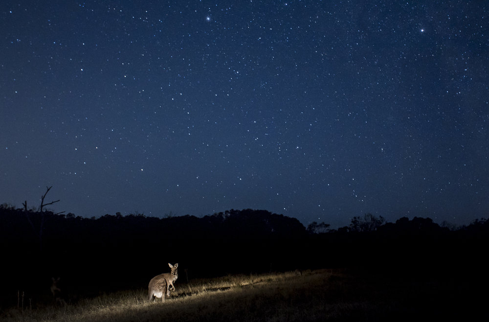A grey kangaroo and her joey under a starry sky.